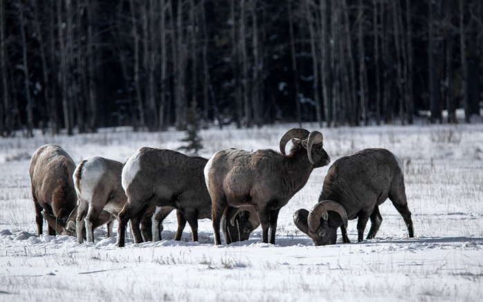 Near Abraham Lake – Winter Grazing – 2