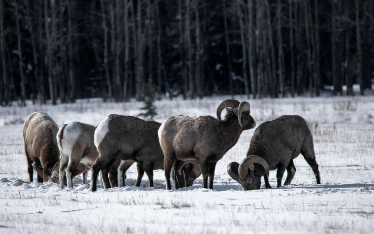 Near Abraham Lake – Winter Grazing – 2