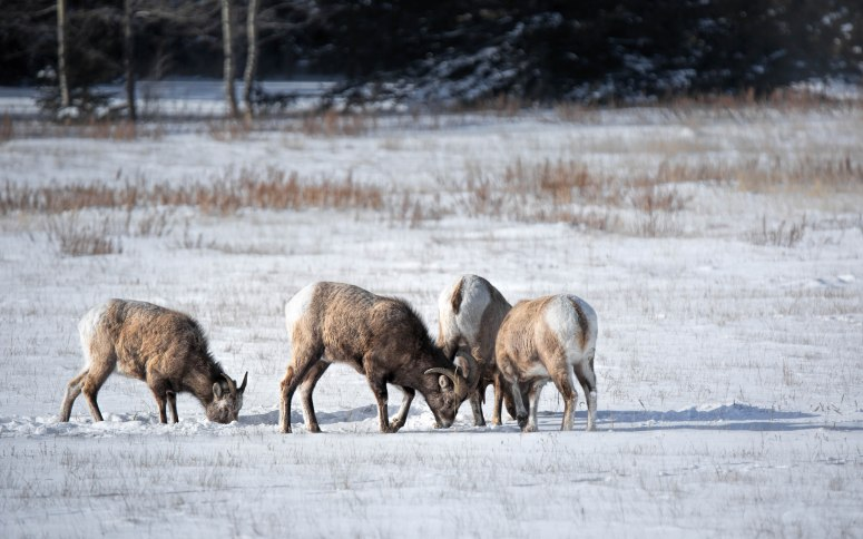 Near Abraham Lake – Winter Grazing – 3