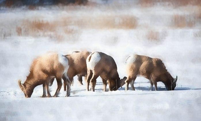 Near Abraham Lake – Winter Grazing – 4